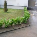 Kirschlorbeer - Hecke